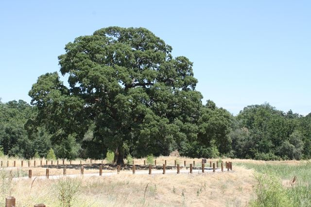 Stock Ranch Tree